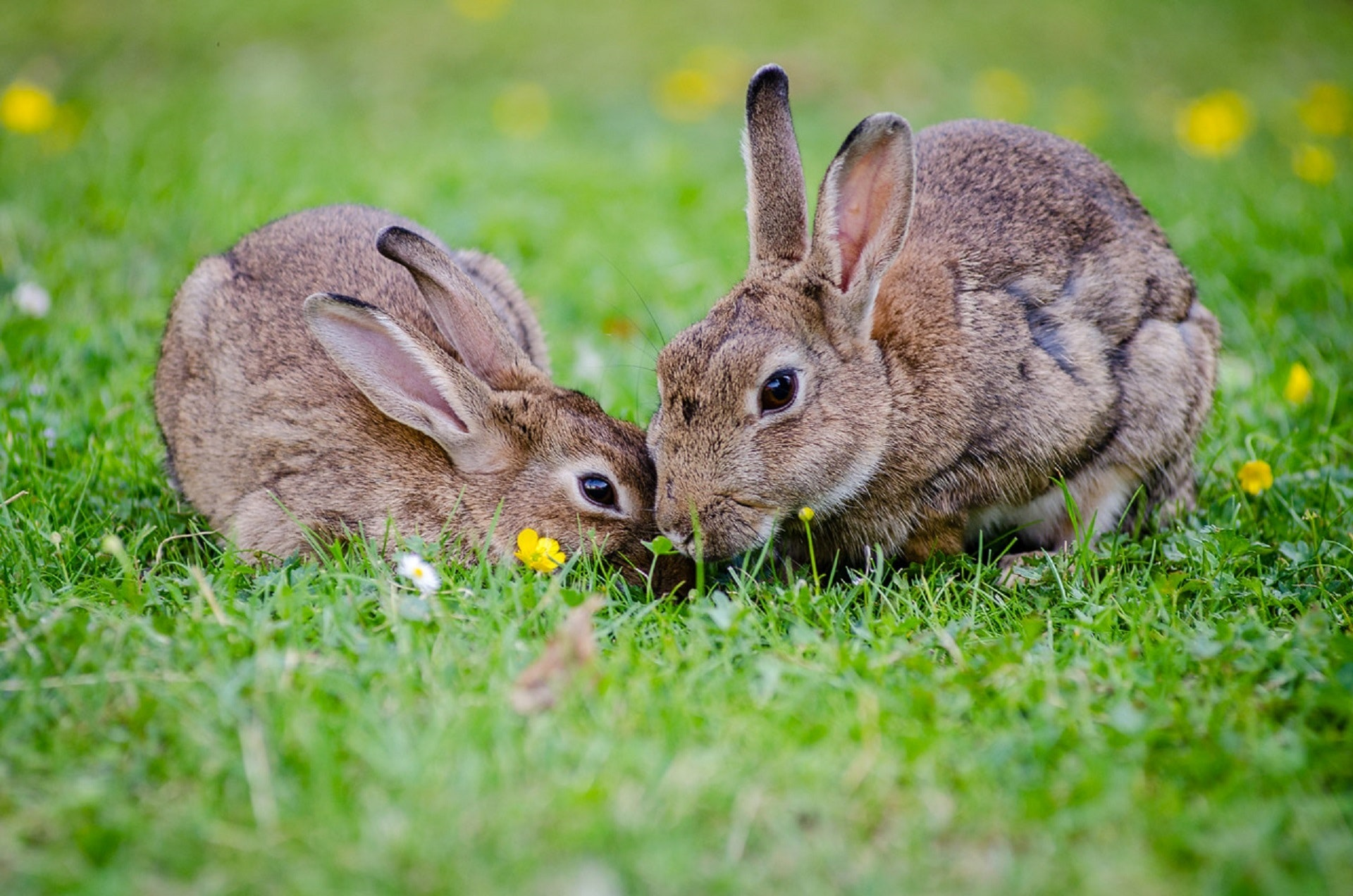 Rabbits eating grass at daytime.
