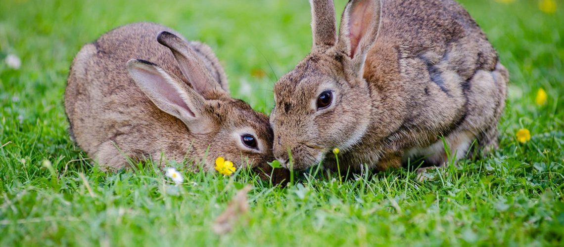 Rabbits eating grass at daytime.